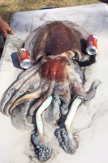 The giant cuttlefish caught off WA.