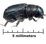 The bark beetle can be deadly to trees.
