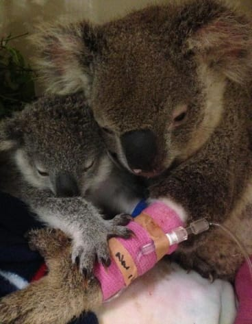 Little Taylor and mother Harriett were nursed for seven months by Return to The Wild Inc and then succesfully released last year.