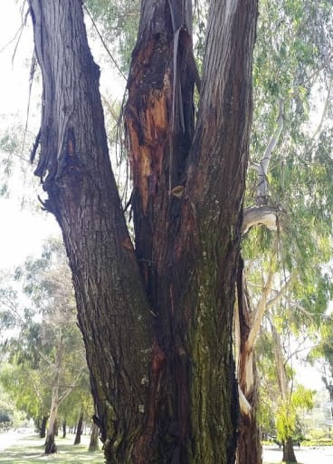 One of the eucalyptus trees in the Northbourne Avenue median strip.