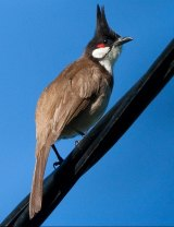The red-whiskered bulbul.