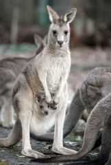 ACT authorities have yet to finalise the number of kangaroos to be culled in 2017.