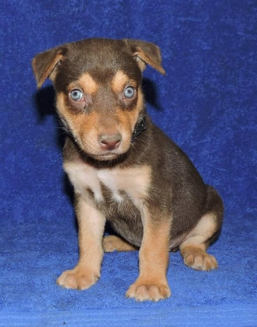 A kelpie puppy from the  farm advertised for sale.