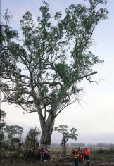 The ancient river red gum at the centre of a protest.