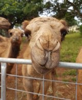 """""""They're just like giant Labradors,"""" Melanie says of her camels."""