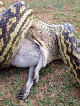 Mr Worlsford tried to save the wallaby's joey, but it died after being removed from its mother's pouch.