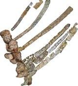 Austrosaurus mckillopi backbones and ribs.