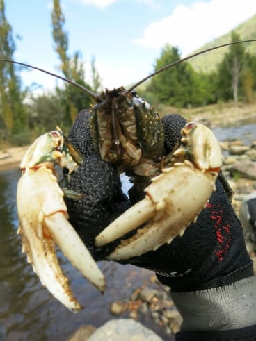 The distinctive Murray crayfish is listed as vulnerable to extinction in the ACT.