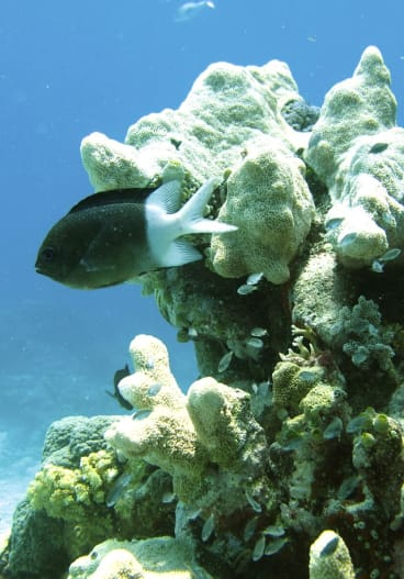 """Some tropical fish are essentially """"switching certain genes on and off,"""" to cope with warmer ocean temperatures."""