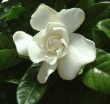 Among the species found by Robert Fortune during his short visit to the garden city of Suzhou in May 1844 were a double form of Gardenia jasminoides.
