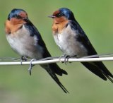 Welcome swallows.