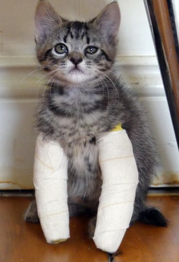 The kittens are still able to move around freely with their casts on.