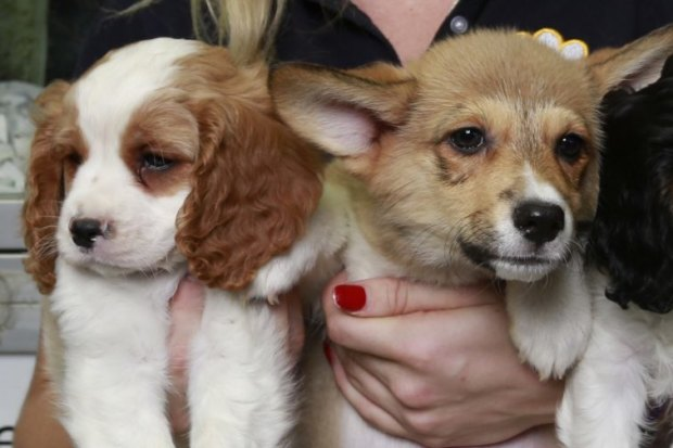 Pet shops, dog breeders irate at cost of plan to stop puppy farms