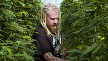 Steve Fagan, grower and collective owner of SLOgrown Genetics, attends to his organically cultivated cannabis.