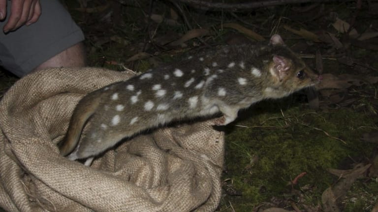 An eastern quoll.