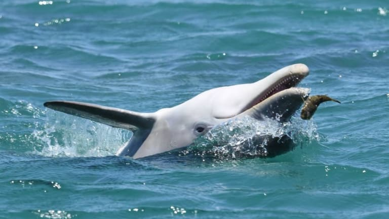Some scientists think the blowfish toxins may be used recreationally by dolphins.