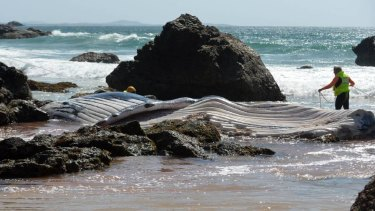 Port Macquarie-Hastings Council says the decision to bury the carcass was a last resort.