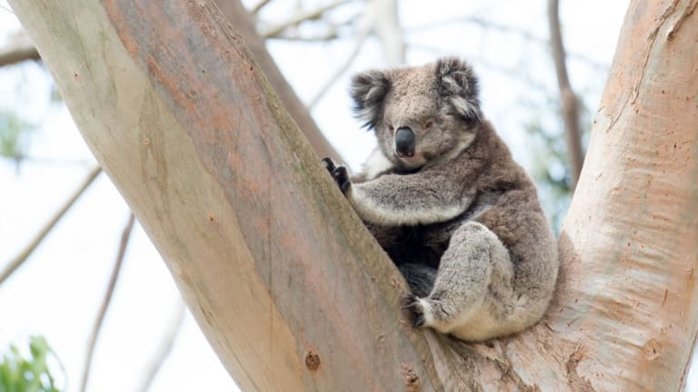 """Redland City Council introduced """"koala safe areas"""" in 2007 but wants to expand them in 2016."""