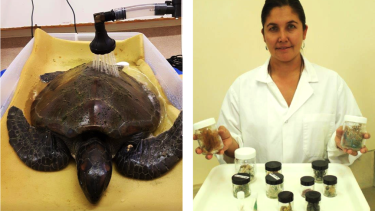 """Tina the Turtle was found near Shoalwater with her intestines """"filled with rubbish."""""""