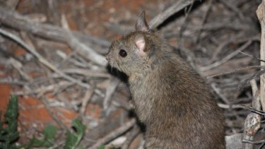 Dominant female stick rats rule their stick castles – while males try to woo them with offerings of flowers.