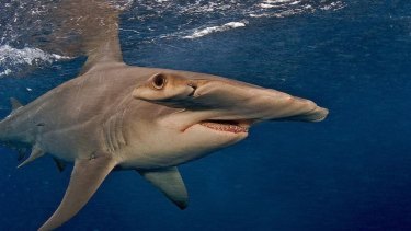 The great hammerhead shark is one of the large species at risk.