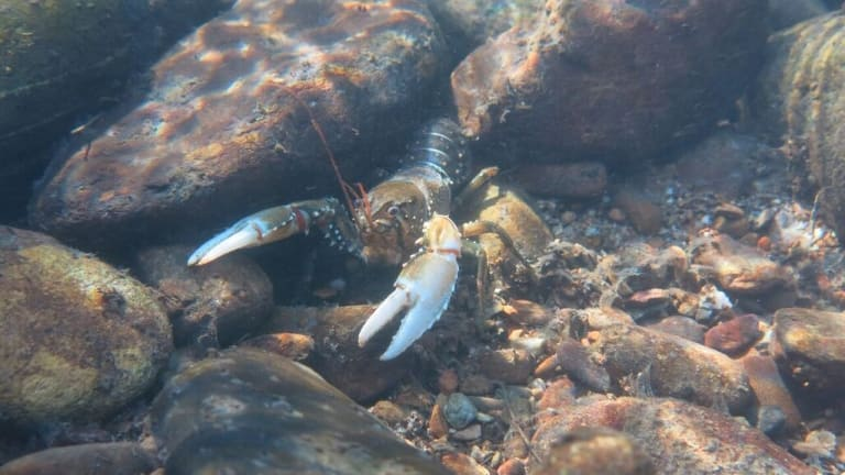Murray crayfish are extremely sensitive to habitat loss.