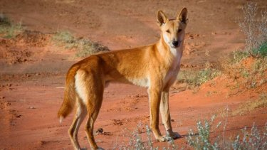 Native animals such as the bilby have co-existed with dingoes for 4500 years, yet are threatened by introduced species such as foxes and cats.