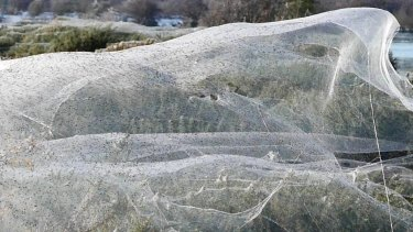 The spiders have thrown silk snag lines into the air to haul themselves out of the water in Westbury, Tasmania.