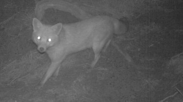 Urban foxes are common in much of Melbourne. The nocturnal predators