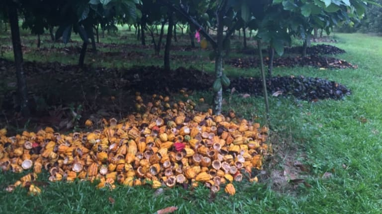 Spreading husks around cacao trees has been found to increase fruit on trees by three times the amount and four times the weight on average.