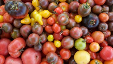 The tomato harvest at Chesterfield in Geelong.