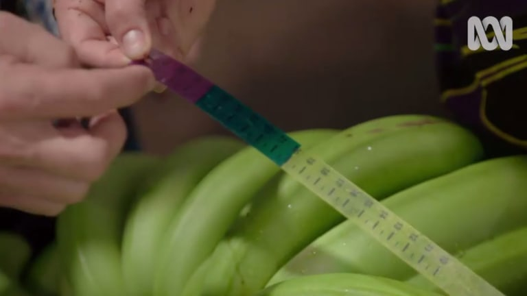 Farm workers use a measuring tape to determine which bananas reach our supermarkets.