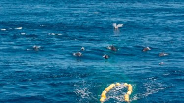Dolphins chase down a fishing trawler off the Pilbara coast.