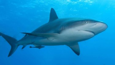 It's thought a reef shark nudged the surfer's board as he paddled off Falcon Bay on Friday.