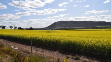 A canola field on Northam-York Road.