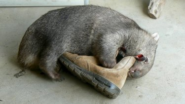 A wombat that was orphaned in the 2010 Queanbeyan floods. He was successfully raised and released.