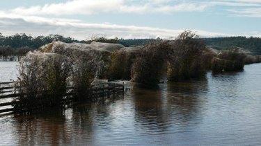Spider webs cocoon trees during the floods in Westbury, Tasmania.