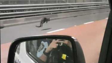 A wallaby bounced over the Sydney Harbour Bridge on Tuesday morning.