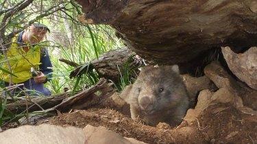 A wombat that escaped logging.