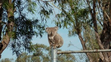 Koala numbers in the Liverpool Plains area have dropped significantly.