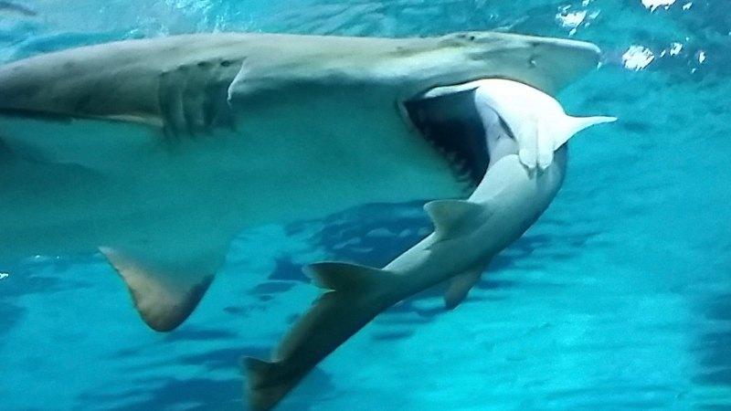 Video shows shark eating shark in South Korean aquarium