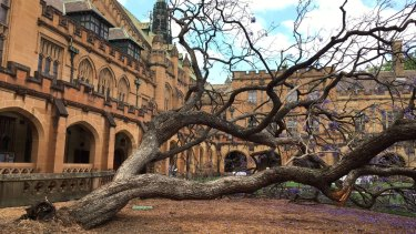 The fallen jacaranda tree in the University of Sydney quadrangle.