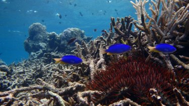 Damselfish in a degraded habitat in the northern part of the Great Barrier Reef