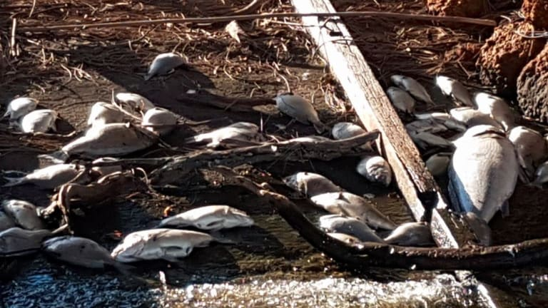 Dead bream and mulloway on the banks of the Murray River on North Yaunderup on Sunday.