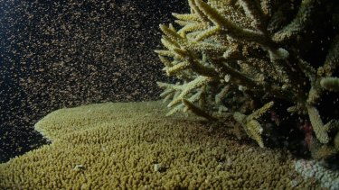 A perfect storm of weather and marine conditions has led to a mass coral spawning on the Great Barrier Reef.
