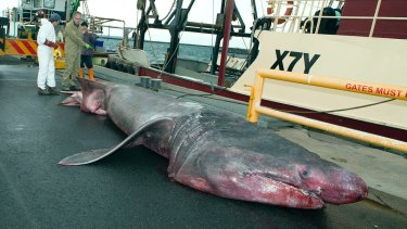 Scientists examine the male basking shark.
