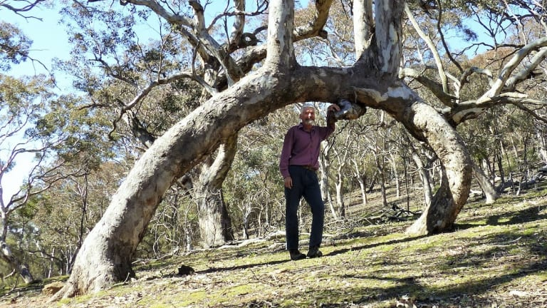 One of a kind? Matthew Higgins at the Mount Ainslie arch tree.