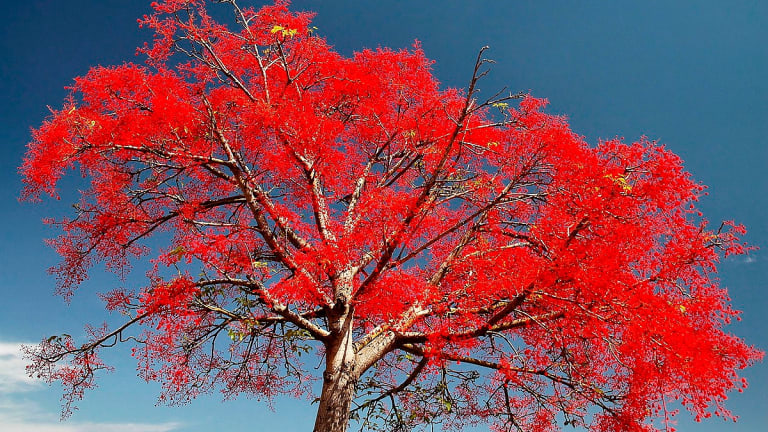 A native flame tree has been considered for the second tree to be planted in April next year.