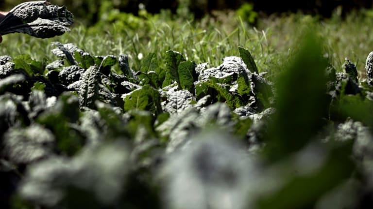 A healthy kale crop.
