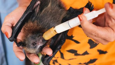 A malnourished flying fox pup getting cared for by ACT Wildlife volunteers